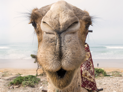 Royal Air Maroc: Camelo
